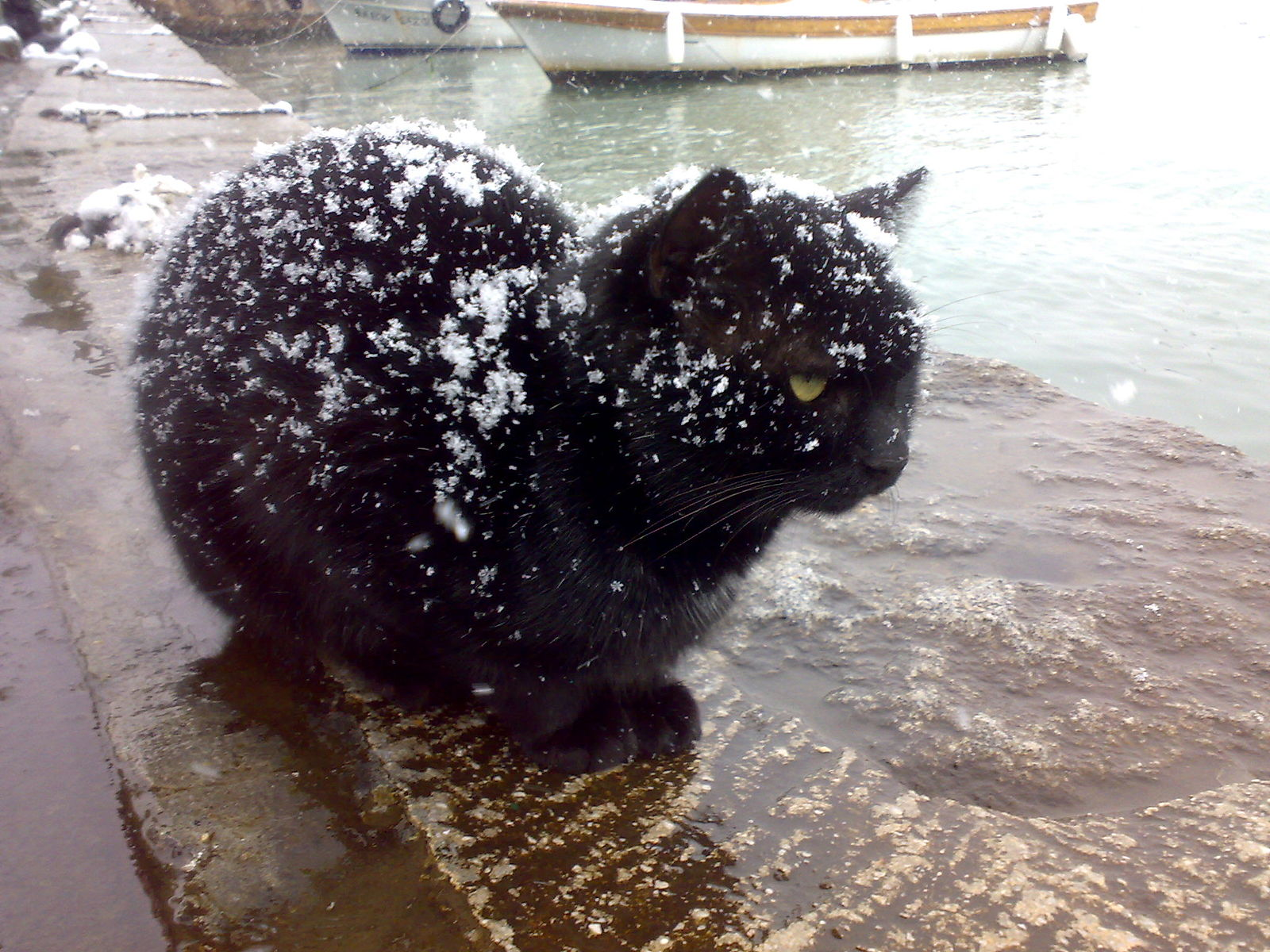 "Black cat being snowed on.  ""I can't believe I volunteered to pose for this picture."""